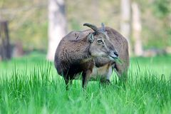 Mouflon Ovis Aries Musimon Eating Grass Closeup royaltyfria foton