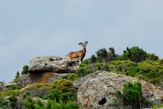 Mouflon Ovis aries Stock Photo