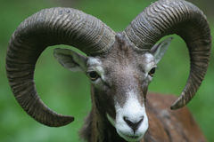 Mouflon - Ovis Musimon Stock Photo
