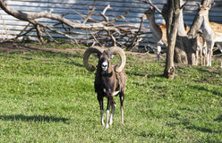 Mouflon (ovis musimon) Stock Photos