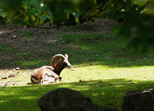 Mouflon (ovis musimon) Royalty Free Stock Photo
