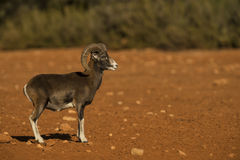 Mouflon Stock Photography
