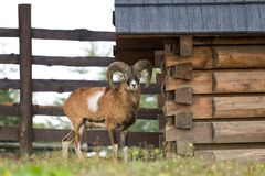 The mouflon ovis musimon, wild sheep. royalty free stock image
