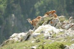 Mouflon (Ovis orientalis) Royalty Free Stock Images