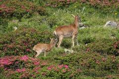 Mouflon (Ovis orientalis) Royalty Free Stock Image