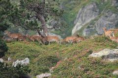 Mouflon (Ovis orientalis) Stock Image