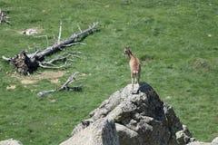Mouflon. Ovis orientalis,ewe and lamb stock image
