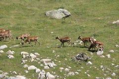 Mouflon. Ovis orientalis,ewe and lamb royalty free stock photo
