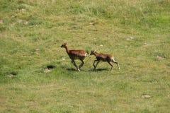 Mouflon. Ovis orientalis,ewe and lamb stock photo