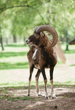 Mouflon Royalty Free Stock Photography