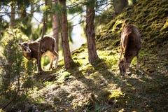 The mouflon (Ovis orientalis) Royalty Free Stock Photo