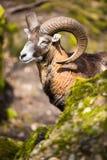 The mouflon (Ovis orientalis). The mouflon in fotrest (Ovis orientalis royalty free stock photo