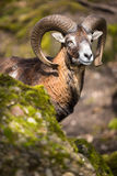 The mouflon (Ovis orientalis) Stock Images