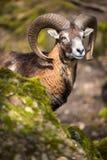 The mouflon (Ovis orientalis). The mouflon in fotrest (Ovis orientalis stock images