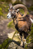 The mouflon (Ovis orientalis) Stock Photo