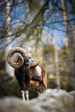 The mouflon (Ovis orientalis) Royalty Free Stock Photography