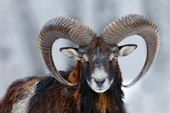 Free Mouflon, Ovis Orientalis, Horned Animal In Snow Nature Habitat. Close-up Portrait Of Mammal With Big Horn, Czech Republic. Cold Stock Photos - 157337953