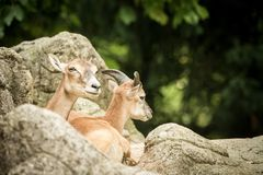 The mouflon Ovis orientalis orientalis having rest on rocks in ZOO Basel, green leaves in background,cute mammal, forest horned. Animal in the nature habitat royalty free stock images