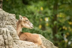 The mouflon Ovis orientalis orientalis having rest on rocks in ZOO Basel, green leaves in background,cute mammal, forest horned. Animal in the nature habitat stock photos