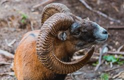 Free Mouflon Ovis Orientalis Very Close-up Photos, Mammal Stock Photography - 165696602