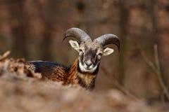 Mouflon, Ovis orientalis, Waldgehörntes Tier im Naturlebensraum, Porträt des Säugetieres mit großem Horn, Prag, Tschechische Repu Lizenzfreies Stockbild