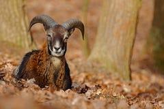 Mouflon, Ovis orientalis, Waldgehörntes Tier im Naturlebensraum, Porträt des Säugetieres mit großem Horn, Prag, Tschechische Repu Lizenzfreie Stockfotos