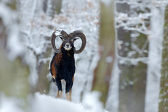 Mouflon, Ovis orientalis, winter scene with snow in the forest, horned animal in the nature habitat, portrait of mammal with big h Stock Photography