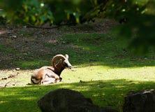 Mouflon (ovismusimon) Royaltyfri Foto