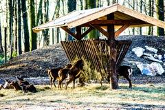 Mouflon på matning winterly royaltyfri fotografi