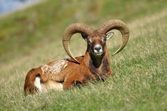 Mouflon on pasture Royalty Free Stock Images