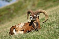 Mouflon on pasture Royalty Free Stock Photos