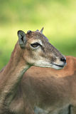 Mouflon Portrait Royalty Free Stock Photo