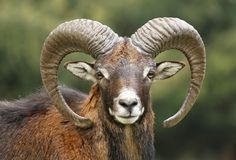 Mouflon portrait Stock Photography