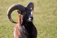 Mouflon portrait Stock Image