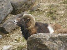 Mouflon portrait in stony back Royalty Free Stock Photography