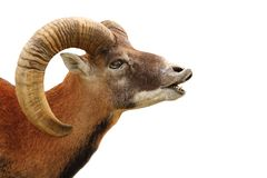 Mouflon portrait on white Royalty Free Stock Photo