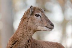 Mouflon Royalty Free Stock Photography