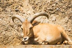 Mouflon Royalty Free Stock Image