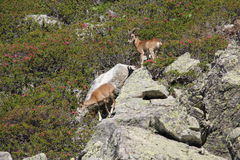 Mouflon in Pyrenees Royalty Free Stock Images