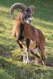 Mouflon ram. (Ovis aries stock photography