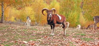 Mouflon ram in autumn setting Royalty Free Stock Images