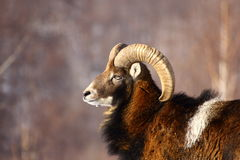 Mouflon ram hunting Royalty Free Stock Photos