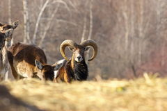 Mouflon ram looking towards the camera Stock Images