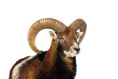 Mouflon ram portrait Stock Photography