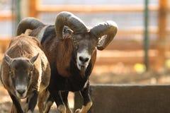 Mouflon ram in rut Stock Image