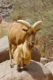 A mouflon ram standing on a rock Royalty Free Stock Image