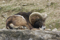 Mouflon resting on stone Stock Image