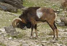 Mouflon rubbing at stone Royalty Free Stock Photos