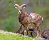 Mouflon-Schafmann auf Hügel lizenzfreies stockbild