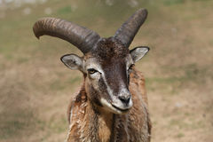 Mouflon sheep Royalty Free Stock Images